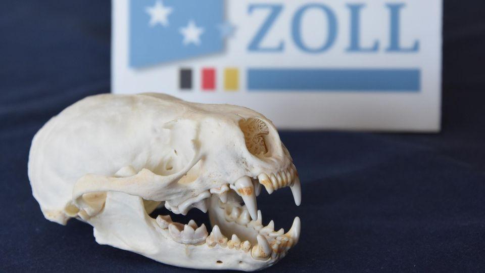 Zöllner beschlagnahmten den Fischotter-Schädel am Münchner Flughafen.