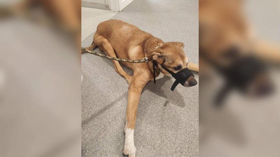 Der gerettete Hund habe unter starken Schmerzen gelitten und auf jede kleine menschliche Bewegung verängstigt reagiert.