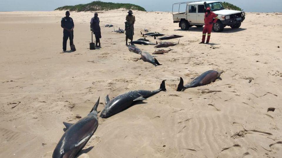 Im Bazurato-Marinepark in Mosambik wurden über 100 tote Delfine gefunden.