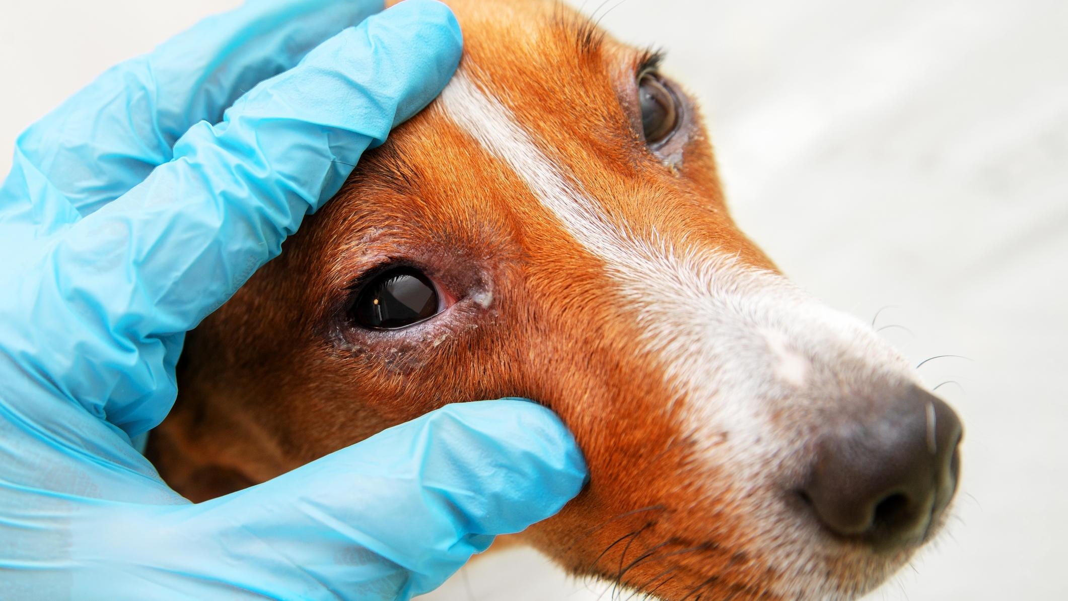Auch Hunde können unter Allergien leiden.