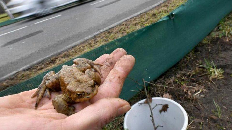 Eine Erdkröte wird an einem Krötenschutzzaun nahe einer Straße aus einem Eimer genommen. Foto: Holger Hollemann/dpa