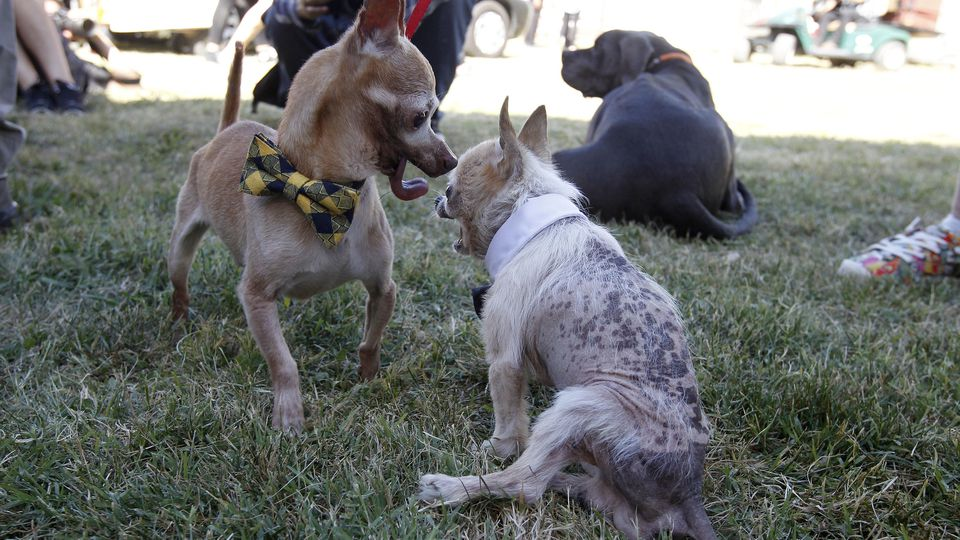 The World's Ugliest Dog Contest in Petaluma, California.  It was a paw show as pups from all over the USA competed for the title of the ugliest pooch. Cleft palates, underbites and deformed paws were just some of the qualities on display from these m