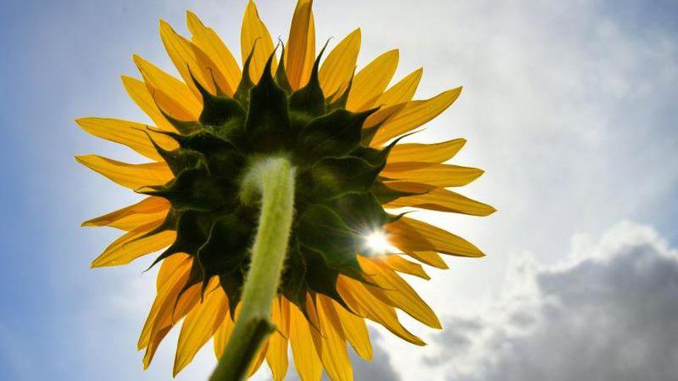 Ein Sonnenstrahl scheint durch die Blüte einer Sonnenblume. Foto: Frank May/Archivbild