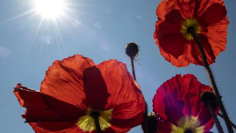 Die Sonne scheint über Mohnblüten. Foto: Patrick Seeger/dpa/Archivbild