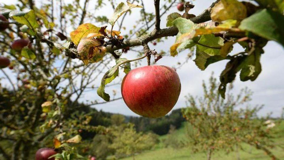 Äpfel sind auf einer Wiese mit Streuobstbäumen zu sehen. Foto: Patrick Seeger/dpa/Symbolbild