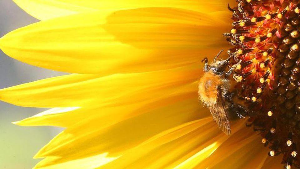 Eine Hummel sitzt auf der Blüte einer Sonnenblume. Foto:Wolfgang Kumm/Archiv