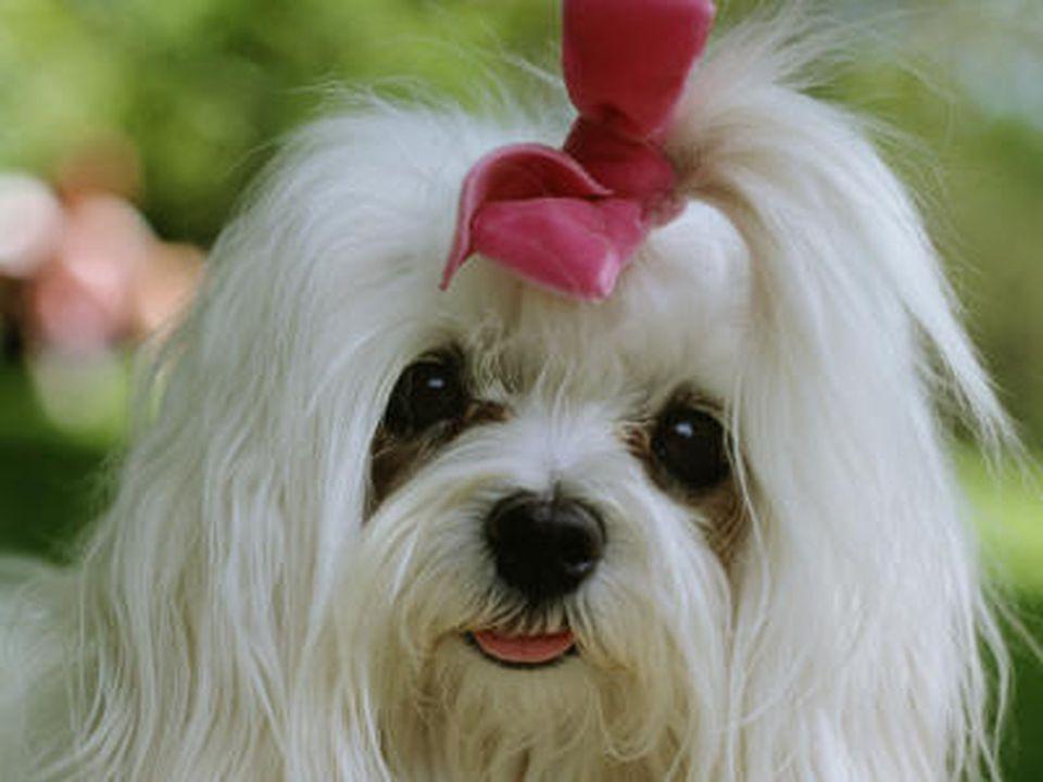 Ein weißer Yorkshire Terrier mit rosa Schleife.