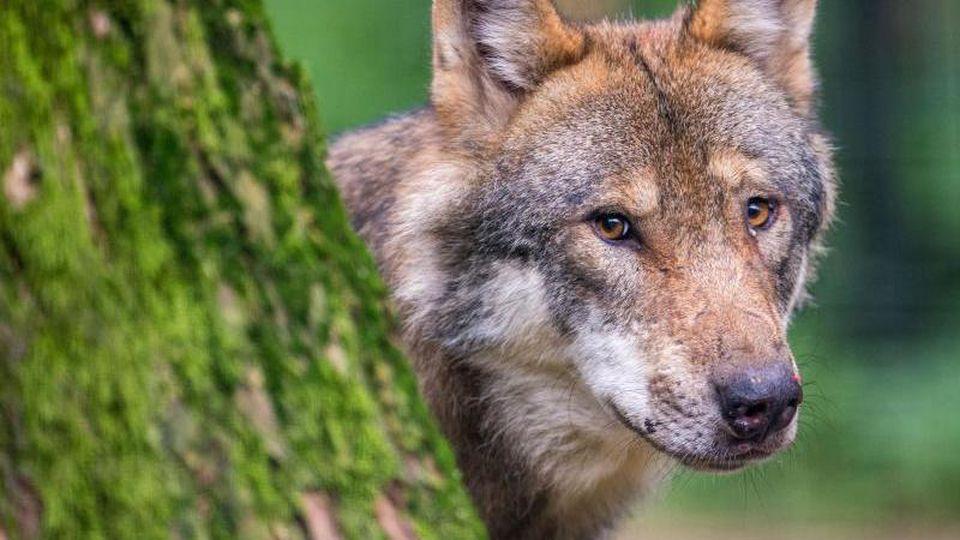 Ein Wolf schaut in einem Wildpark hinter einem Baum hervor. Foto: Lino Mirgeler/dpa/Archiv
