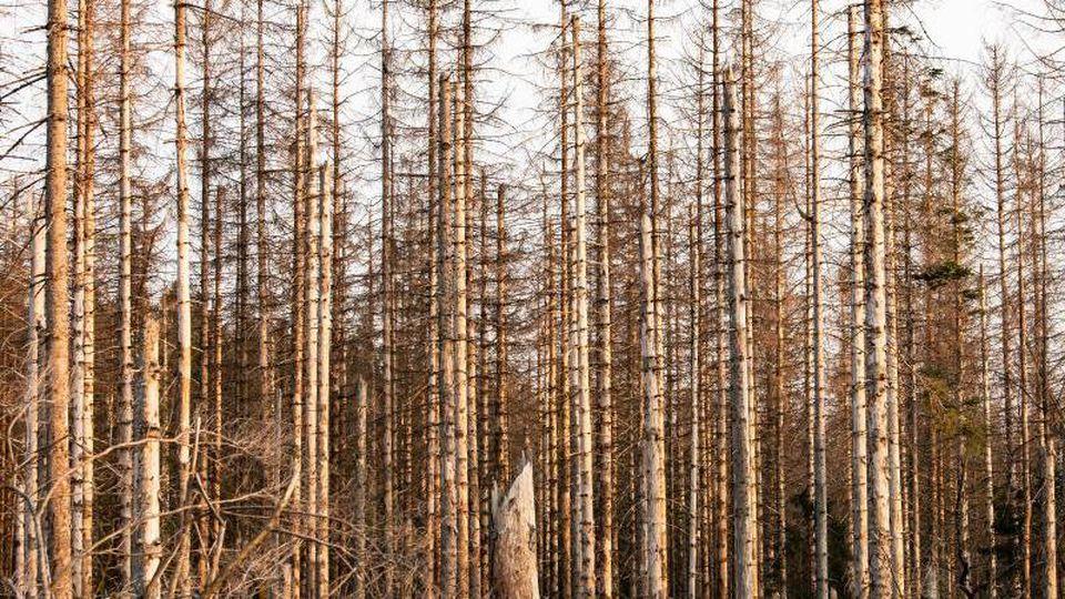 Abgestorbene Fichten stehen zwischen Braunlage und Torfhaus im Harz. Foto: Swen Pförtner/dpa