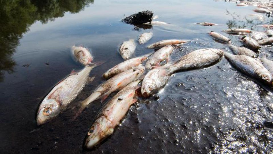 Tote Fische liegen an der Wasseroberfläche. Foto: Julian Stratenschulte/dpa/Symbolbild