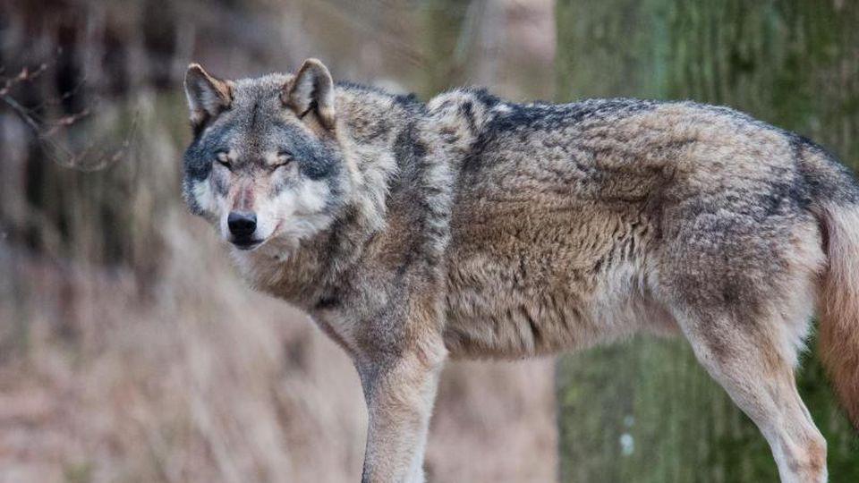 Ein Wolf steht auf einem Baumstamm. Foto: Julian Stratenschulte/Archiv