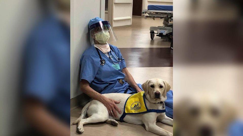 Wynn ist eine Therapiehündin in Ausbildung und steht den Mitarbeitern des Rose Medical Center in Denver in den schweren Zeiten zur Seite.