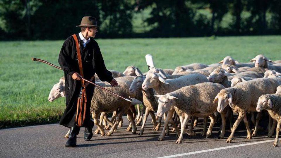 Ein Schäfer führt seine Schafe beim Markgröninger Schäferlauf über eine Landstraße. Foto: Fabian Sommer/dpa/Archivbild
