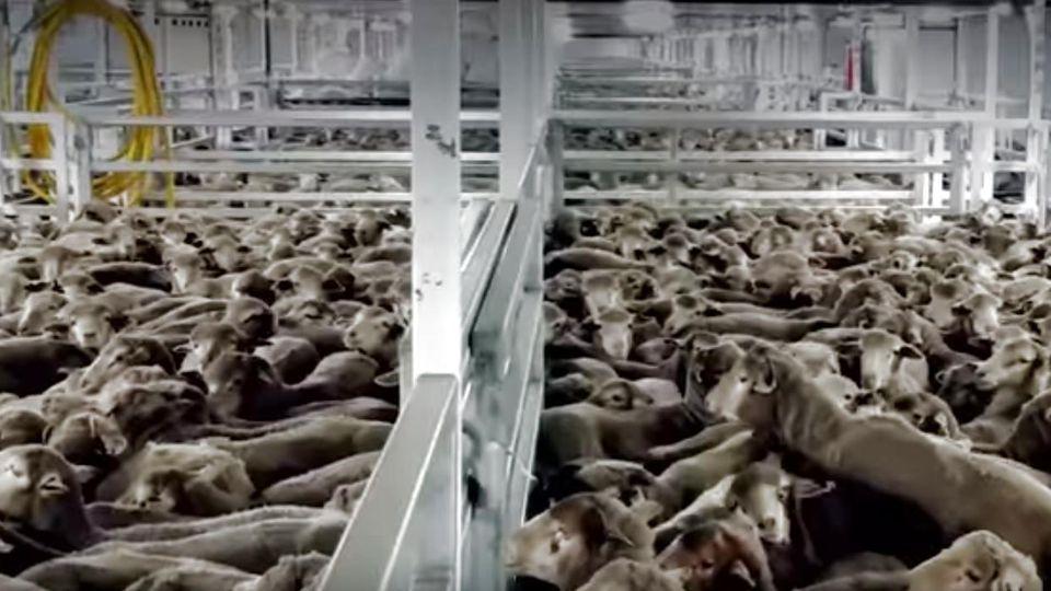 2.400 Schafe auf australischem Frachter verendet.