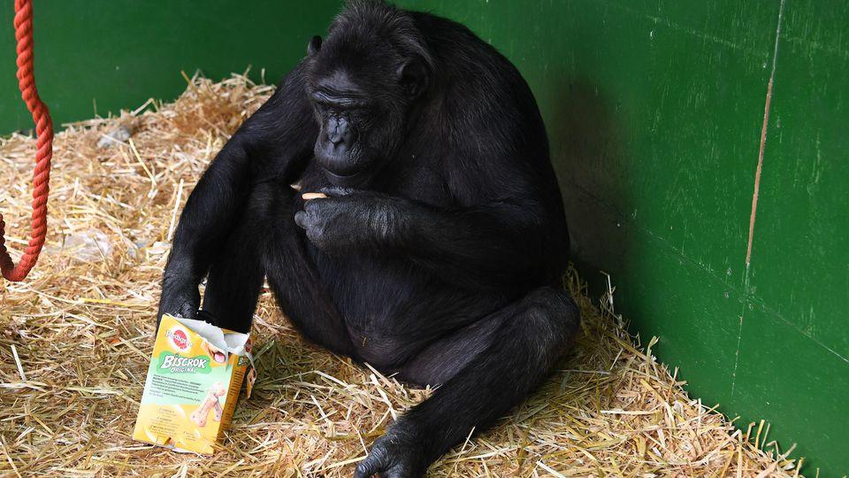 Robby, Zirkus-Schimpanse