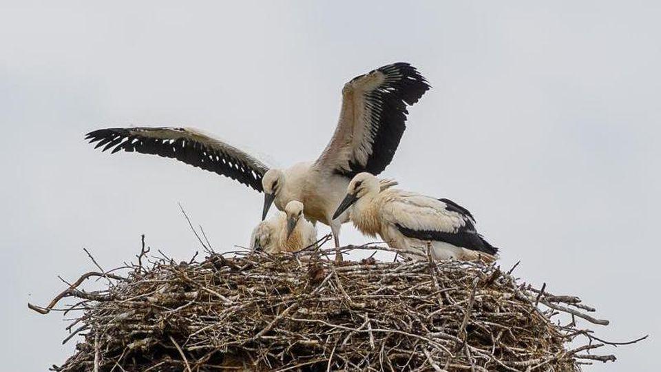 Ein junger Weißstorch macht erste Flugversuche. Foto: Klaus-Dietmar Gabbert/dpa-Zentralbild/dpa/Symbolbild