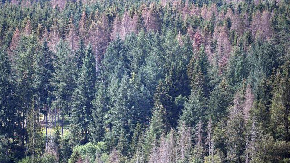 Tote Nadelbäume stehen in einem Wald. Foto: Patrick Seeger/Archiv