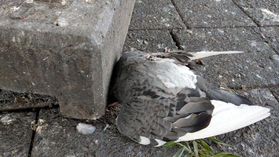 Diese Taube starb unter einem schweren Stein am Baumwall.