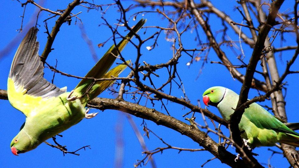 Papageien in Köln