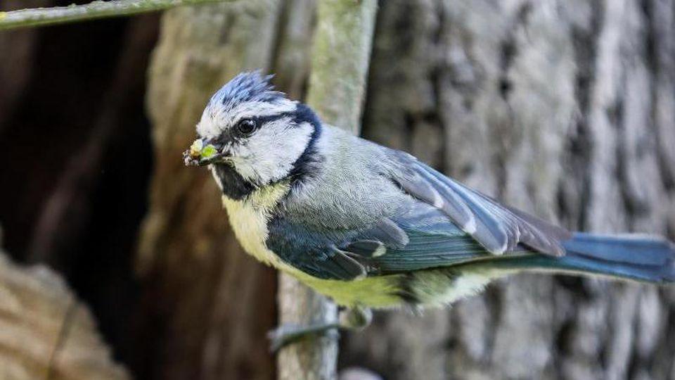 Eine Blaumeise sitzt mit Futter im Schnabel an einem Ast unweit ihres Nests. Foto: Jan Woitas/dpa-Zentralbild/ZB/Symbolbild