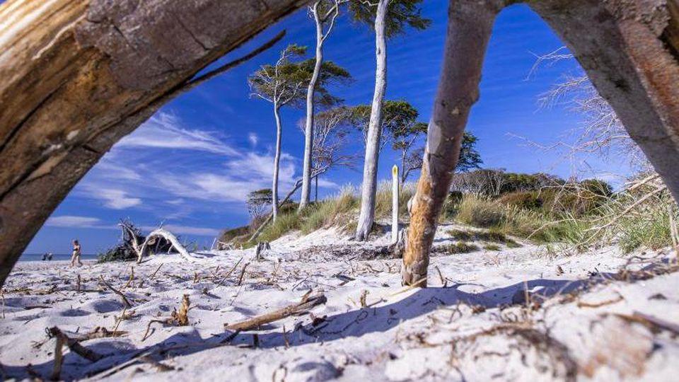 Windschiefe Bäume stehen direkt an der Küste und prägen das Bild am Weststrand auf der Ostsee-Halbinsel Fischland-Darß-Zingst. Foto: Jens Büttner/dpa/Archivbild