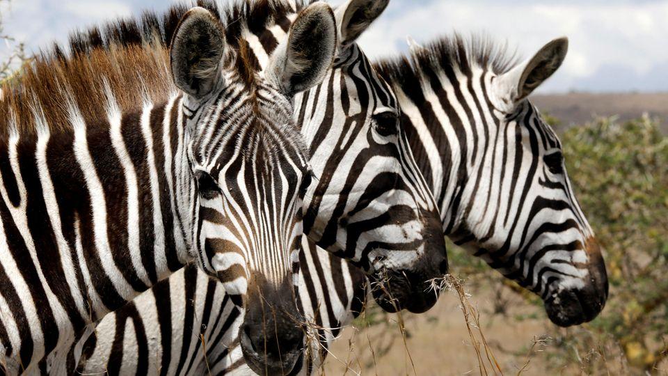 Ein amerikanischer Biologe erklärt. warum Zebras Streifen haben.