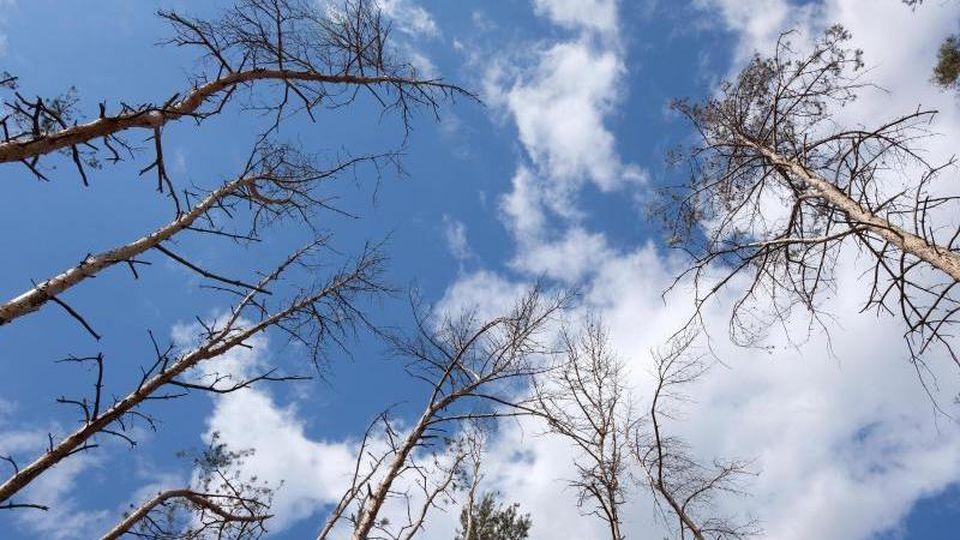 Abgestorbene Bäume in einem Kiefernwald in Nordsachsen. Foto: Sebastian Willnow/dpa-Zentralbild/dpa/Archivbild