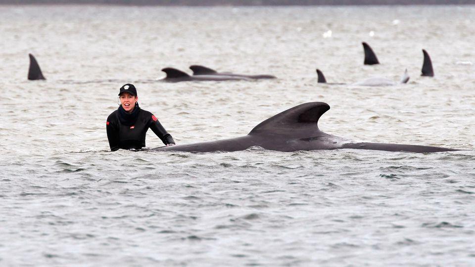 Wale an der Westküste Tasmaniens gestrandet.