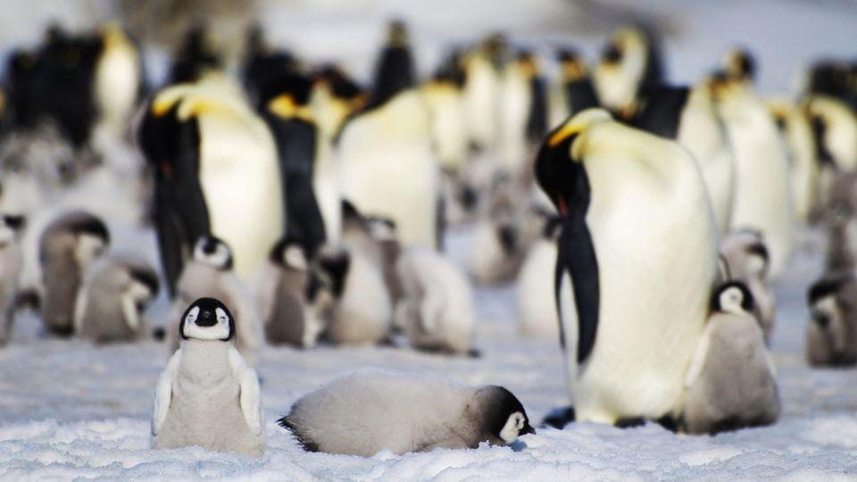 Neue Kaiserpinguin-Kolonien in der Antarktis entdeckt