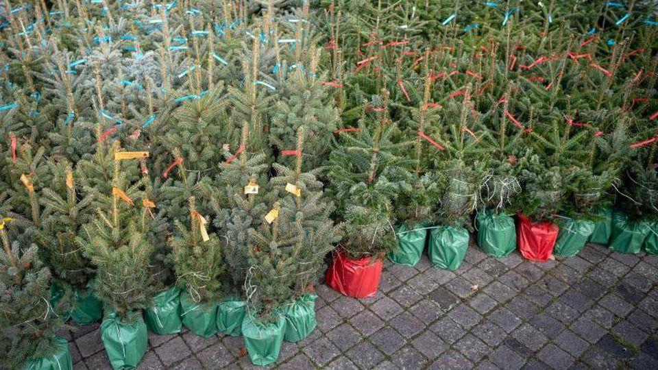 Weihnachtsbäume wurden mit farbigen Zetteln markiert. Foto: Sina Schuldt/dpa