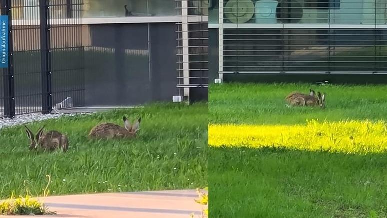 Ein Feldhasen-Paar besucht die Polizei Ludwigsburg