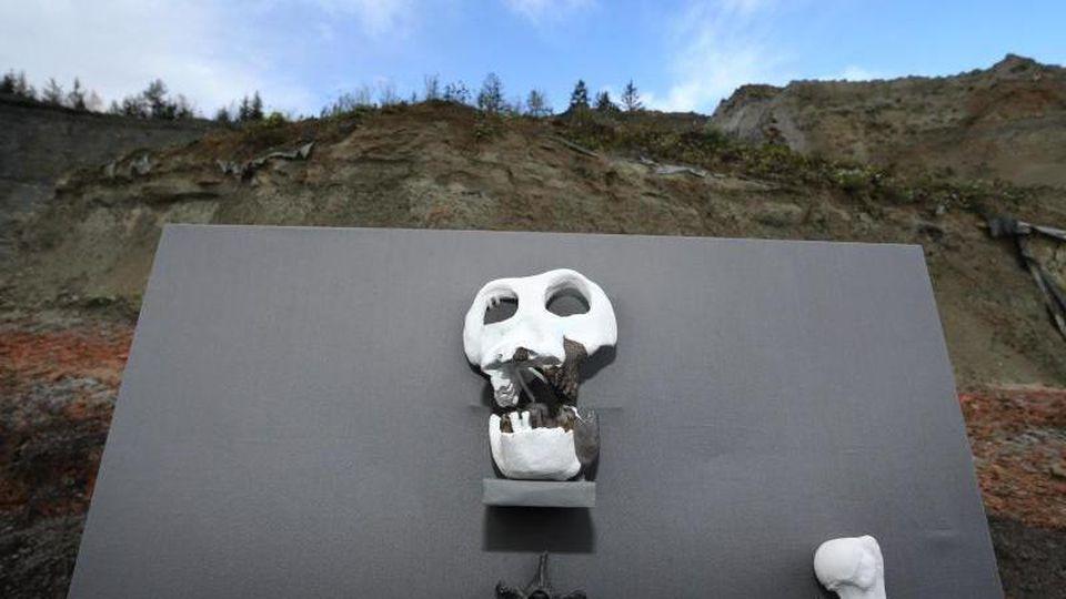 """Repliken von Fossilien des Menschenaffens """"Udo"""" sind in einer Ton- und Lehmgrube ausgestellt. Foto: Karl-Josef Hildenbrand/dpa/Archivbild"""