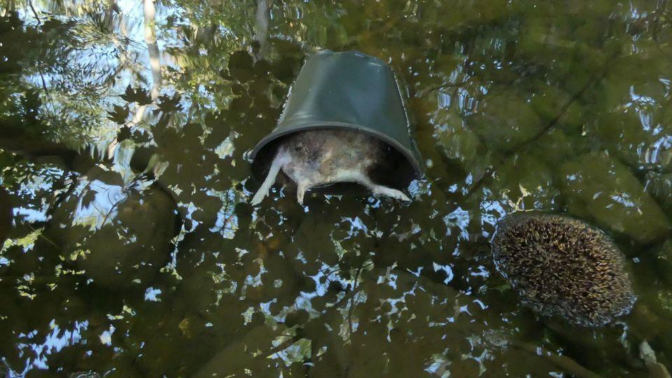 Offenbar hat ein Tierquäler die Igel erst ertränkt und dann ins Wasser geschmissen.
