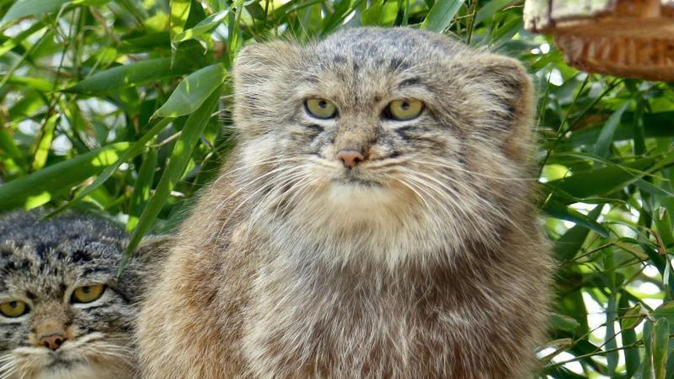 Manul-Katze sitzt in ihrem Gehege. Foto: zoo Neuwied/dpa
