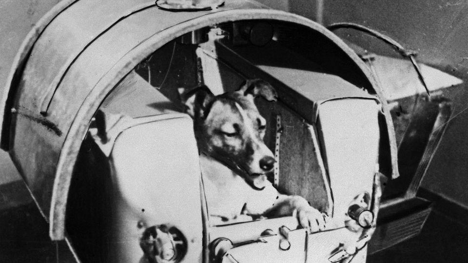 Die Hündin Laika war an Bord der  Sputnik 2 das erste Säugetier im All.