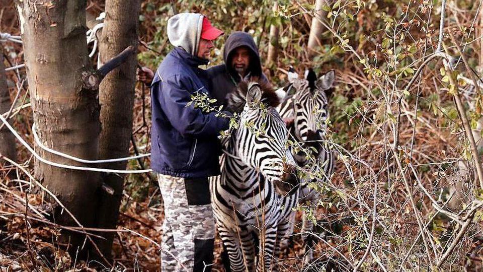 """Zwei Männer fangen zwei Zebras ein, die aus dem """"Dresdner Weihnachtscircus"""" entlaufen sind. Foto: Tino Plunert/Archiv"""