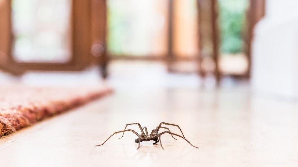Wenn im Herbst Spinnen durch Ihr Wohnzimmer rennen, haben sie wahrscheinlich nur das eine im Kopf.