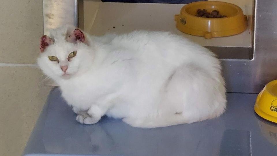 Katze Kahlo mussten beide Ohren entfernt werden.