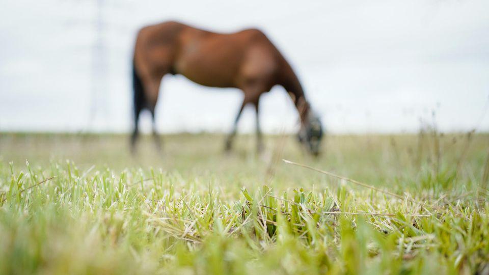 Auf einer Weide in Nordrhein-Westfalen ist ein Pferd offenbar zu Tode gequält worden (Symbolbild).