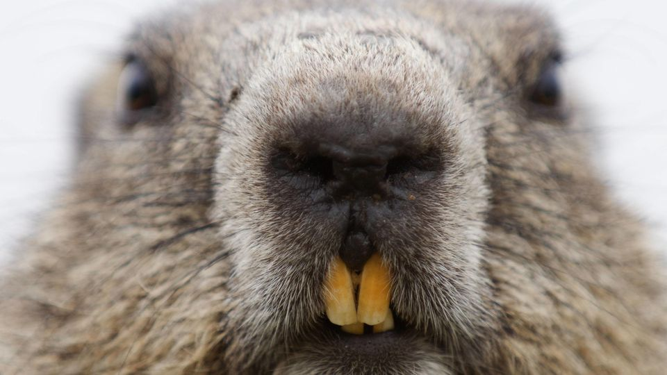 Alpine marmot (Marmota marmota) close up Hohe Tauern National Park, Austria, July PUBLICATIONxINxGERxSUIxAUTxONLY 13976