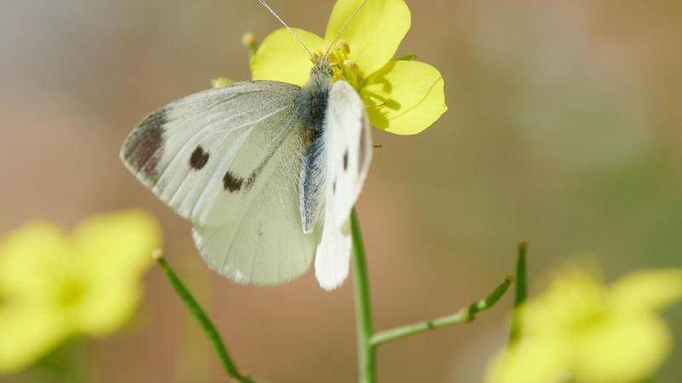 Der Schmetterling sitzt im Park Sanssouci auf einer Blume. Foto: Annette Riedl/dpa