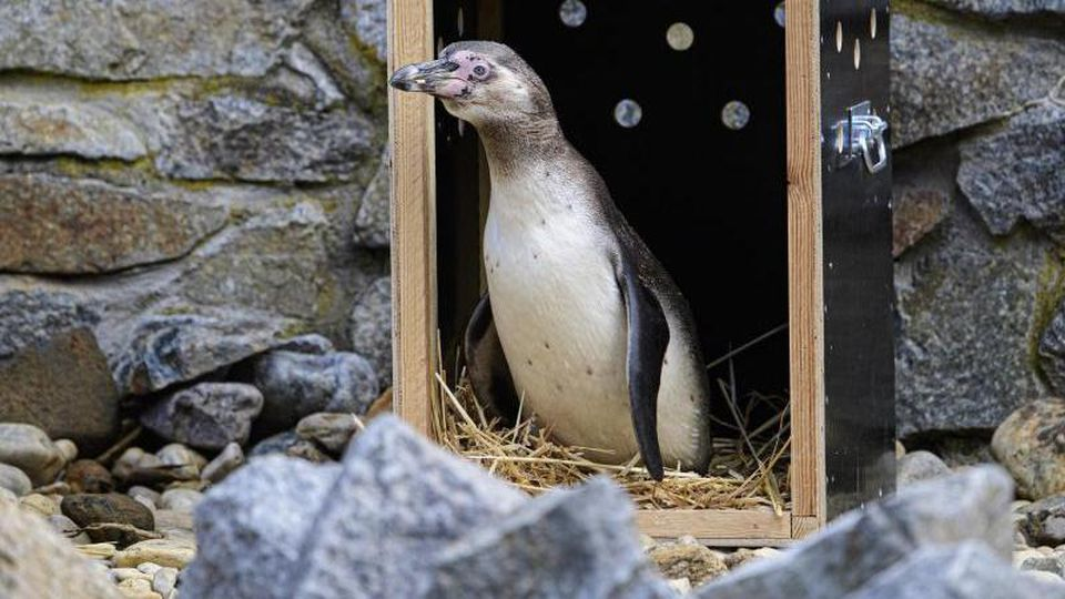 Ein Humboldt-Pinguin kommt aus einer Transportkiste in die neugestaltete Anlage im Zoo Hoyerswerda. Foto: Robert Michael/dpa-Zentralbild/ZB/Archivbild