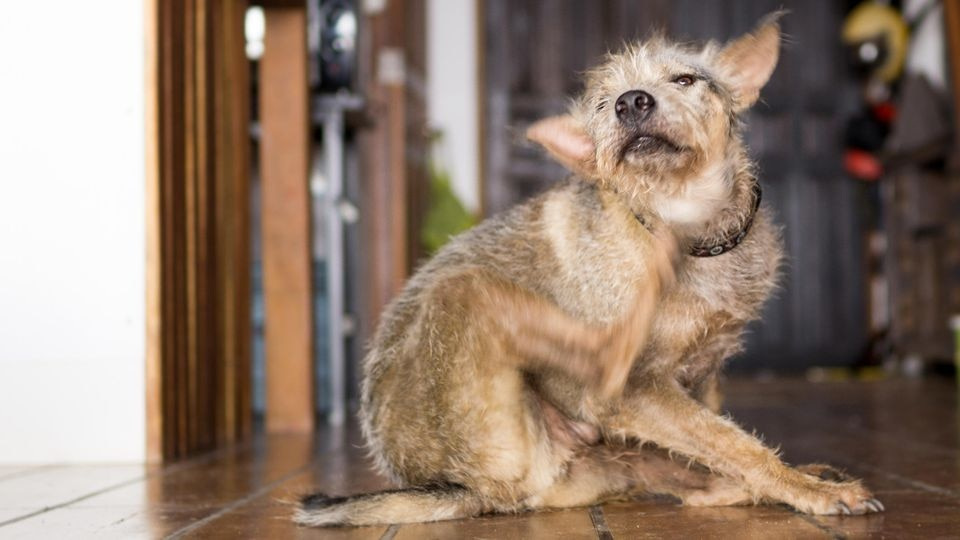 Wenn ihr Hund sich plötzlich ständig kratzt, sollten Sie ihn auf Milbenbefall untersuchen.