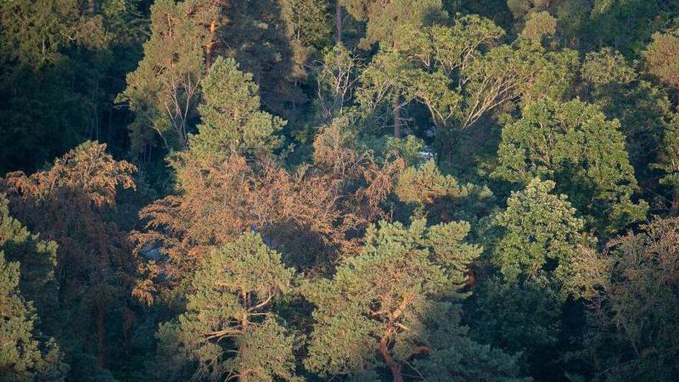 Braune, trockene Bäume stehen in einem Waldstück des Schönbuchs. Der Wald leidet unter der anhaltenden Trockenheit. Foto: Sebastian Gollnow/dpa/Archiv