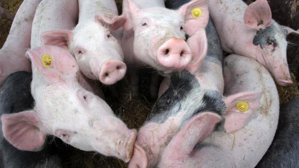 Neugierige junge Schweine stehen in einem Stall. Foto: picture alliance / dpa/Symbolbild