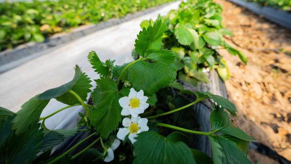Erdbeerpflanzen blühen in einem Foliengewächshaus. Foto: Andreas Arnold/dpa/Symbolbild