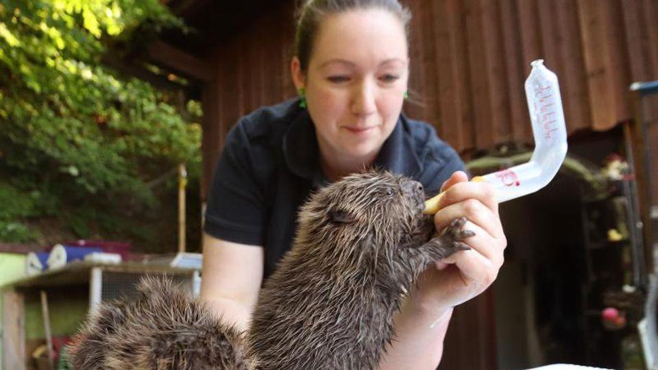 Die Tierpflegerin Stephanie Schwarz füttert ein Biber-Baby mit Milch. Foto: Benjamin Liss/dpa