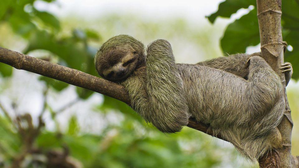 Vor allem im Amazonas-Regenwald, in dem unter anderem Faultiere leben, ist der Tierbestand stark geschrumpft.