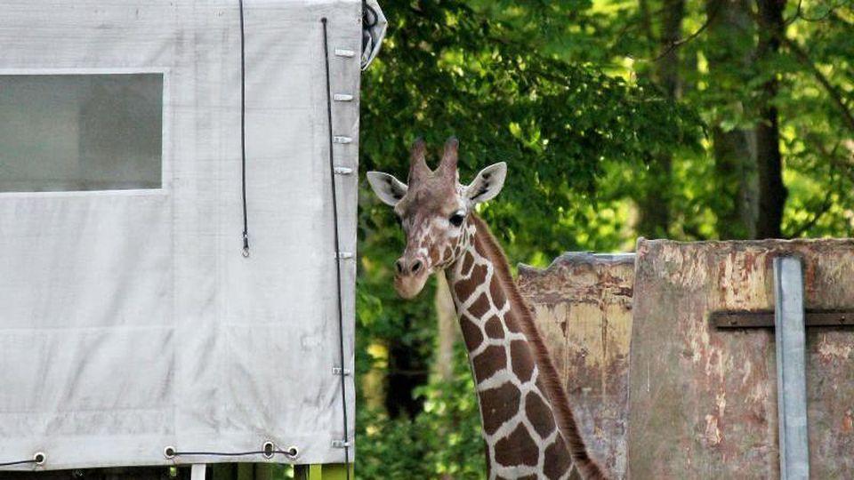 Die Giraffe Najla blickt aus einem Transportwagen. Foto:Zoo Duisburg