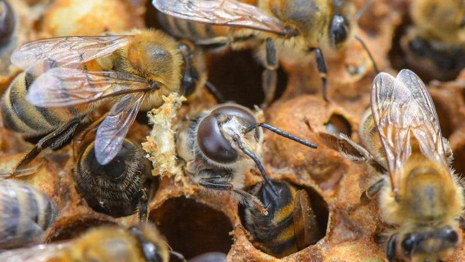 Der Kopf einer Bienendrohne ist zu sehen, wie diese gerade aus einer Wabe schlüpft. Foto: Patrick Pleul/dpa-Zentralbild/ZB/Symbolbild